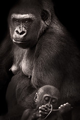 Y tu que miras... (Sergio Snchez Prez) Tags: blanco sergio fauna female gorilla negro ape mirada primate gorila sanchez perez hembra madremother