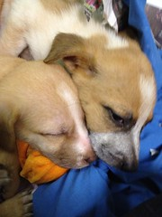 7 week old puppies (see katie draw!) Tags: nrhs adoptabledog shelterdog newrochellehumanesociety