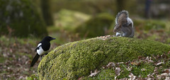stand off (yadrad) Tags: southwest squirrel devon magpie dartmoor