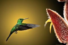 Hold it Right There! (Steve Corey) Tags: bird costarica hummingbird birdphotography droh dailyrayofhope simplysuperb greencrownedbrillianthummingbird bosquedepaz gregbasco cataratadeltoro dailyrayofhope2012