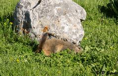 Alpine marmot (Pol/S) Tags: france nature europe year location mammals marmots 2012 overseas alpinemarmot marmotamarmota