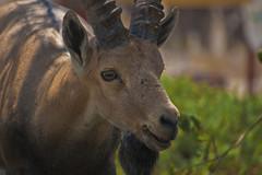 Ibex (Avishai F) Tags: animals israel nikon wildlife ibex d40 55200vr israelanimals wildlifeofisrael