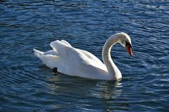 Lieve sull'acqua (Irene Grassi (sun sand & sea)) Tags: lake nature birds animals lago swan natura uccelli animali lagomaggiore cigno cannobio
