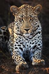 Makepisi Male Leopard: Second Sighting (Xenedis) Tags: africa animal cat southafrica wildlife safari leopard bigcat afrika rsa mpumalanga chui bigfive gamedrive timbavati pantherapardus republicofsouthafrica motswari ingwe timbavatiprivatenaturereserve greaterkrugernationalpark motswariprivategamereserve makepisi