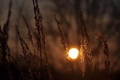 a weekend well ended (christiaan_25) Tags: light sunset orange sun sunlight black beauty grass sunshine silhouette gold glow sundown sunday seeds grasses prairie tallgrass tassels seedheads lowering mortonarboretum endoftheday sooc schulenbergprairie