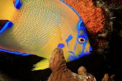 A Splash of Color (laszlo-photo) Tags: fish coral colorful scuba curacao tropical caribbean reef curaçao angelfish ciliaris holacanthus