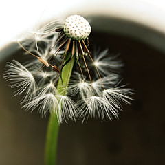 Outtake Day 134 - A Dandy Lion (NeverTheGroom) Tags: white blur flower color macro green closeup garden square blurry thenetherlands blurred dandelion outtake davey pedicle 366photochallenge rememberthatmomentlevel1