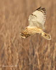 SAVE WORLABY CARRS (Stuart G Wright Photography) Tags: bird birds wildlife short owl prey seo carrs eared worlaby wwwstuartgwrightcom