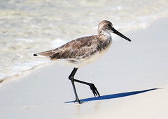 Willet walking (wkepkake1) Tags: ocean sea beach gulfofmexico florida whitesand willet navarrebeach emeraldcoast turquiosewater