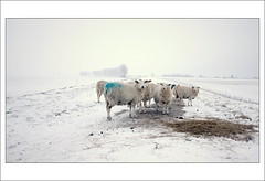 Curious (scrabble.) Tags: winter snow cold nature animal countryside frost sheep chilly agriculture wintertime livestock winterlandscape goereeoverflakkee naturelandscape