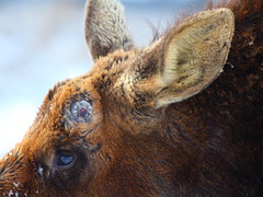 IMG_9143 Bull Moose with Antler Shed (ThorsHammer94539) Tags: moose grandtetonnationalpark