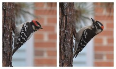 Downy woodpecker (psiegle) Tags: woodpecker downywoodpecker