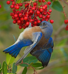 WESTERN BLUEBIRD (sea25bill) Tags: california morning blue winter red food bird berries westernbluebird