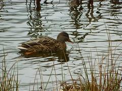 Green Timbers Lake (careth@2012) Tags: duck scenery britishcolumbia chariotsofnaturelevel1