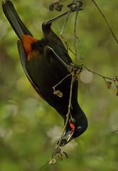 IMGP0363 Saddleback (Tieke)feeding on fruit of Pittosporum tenuifolium (Kohuhu) Zealandia Wellington NZ 11-08-16 (Donald Laing) Tags: new zealand wellington zealandia wildlife sanctuary native birds saddleback tieke donald laing