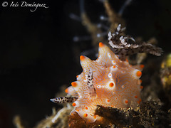 IMG_1782 Diamante. (Ins Domnguez) Tags: sea underwater underwaterfotography underwatermacro nudibranch nudibranquio nature bali halgerda