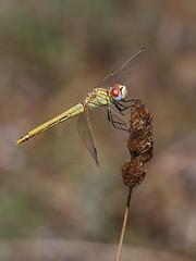 Red-veined Darter (chaz jackson) Tags: redveineddarter sympetrumfonscolombii darter dragonfly insect odonata macro macedonia