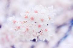 sakura! (M3R) Tags: sakura flower infrared falsecolor osaka japan cherryblossom sakuranomiya