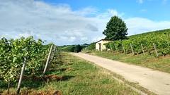 In den Weinbergen bei Selzen (Frank Hamm) Tags: weinberge rheinhessen selzen