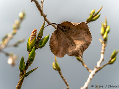 New buds dead leaf (Steve J Chivers) Tags: mzuikodigitaled75300mmf4867ii olympus leaf autumn winter spring seasons omdem10markii micro43 m43 microfourthirds twig branch tree canberra 300mm 75300mm new growth fall