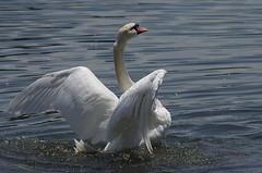 IMGP8618 (CatseyeGomez) Tags: reno nevada virginia lake bird swan