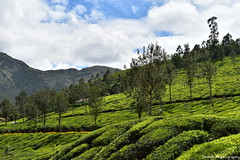 Greeny Tea Estates in Munnar (Dinesh flicks) Tags: munnar munnarphotos munnarscenaries munnartouristspot devikulam topstation amaravathidam chinnarwildlifesanctuary thekkady dinesh photography kerala