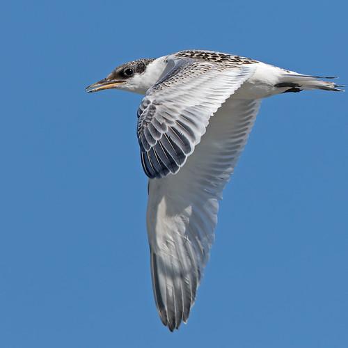Sandwich Tern - juvenile.