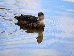 Duck (pnaudi) Tags: bird duck pond native water reflection outdoors nature animal themes rippled day wildlife tranquility