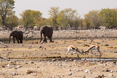 Another staged wildlife photo (abbobbotho) Tags: bg etosha namibia