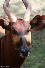 Bongo Eyes (Mark Dumont) Tags: animals bongo cincinnati dumont mammal mark zoo