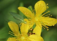 Chrysopidae (Phil Arachno) Tags: chrysopidae heftrich germany hessen insecta arthropoda neoptera neuroptera