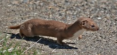 Weasel      (Mustela nivalis) (nick.linda) Tags: weasel mustelanivalis mammals rspbsaltholme wildandfree canon7dmkii sigma150600c