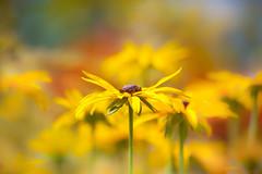 Walk Tall (paulapics2) Tags: flower fleur floral flora blumen bokeh yellow colourful rudbekia blackeyedsusan summer canoneos5dmarkiii canonef70300mm hydehallgardens garden nature