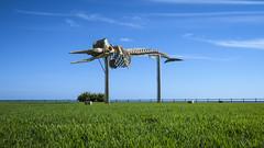 I believe I can fly - sperm whale skeleton (stefanfricke) Tags: whale skeleton wal skelett fuerteventura jandia canon ixus fav50