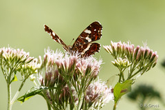 Schmetterling 150 (rgr_944) Tags: schmetterling butterfly papillon tiere insekten macro natur canoneos60dcanoneos70d rgr944 pflanzen blumen
