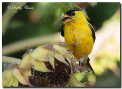 American Goldfinch (Betty Vlasiu) Tags: american goldfinch carduelis tristis bird nature wildlife
