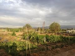 En la vega (Micheo) Tags: vega huerto orchard tormenat storm tomates sombra shadow iphone