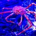 Japanese Spider Crab of Shinagawa Aquarium : タカアシガニ(しながわ水族館)
