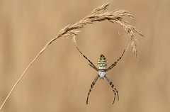 Hanging by a thread - Wasp spider, Argiope bruennichi (one of two images) (willjatkins) Tags: argiope argiopebruennichi waspspider spider spiders arachnid arachnids spiderandweb ukwildlife ukspiders ukspider ukarachnids ukarachnid britishwildlife britishspider britisharachnid britishspiders dorset dorsetwildlife dorsetspider dorsetspiders dorsetarachnid purbeck purbeckwildlife purbeckspider heathland heathlandwildlife macro macrowildlife closeup closeupwildlife heathlandspider nikond7100 sigma105mm