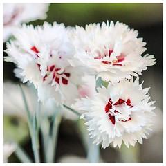 Dianthus (Brenda Boisvert ..) Tags: dianthus flowers blooms blossoms white pink bokeh garden canon macro