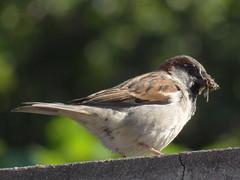 DSC05814 Pardal (familiapratta) Tags: sony dschx100v hx100v iso100 natureza pssaro pssaros aves nature bird birds novaodessa novaodessasp brasil