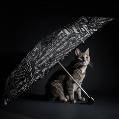 Musicat (Arto Leppnen Photography) Tags: artoleppnenphotography lissu studio art cat fineart kissa lemmikki pet taide valokuvaus dark elinchrom nikond800 50mm umbrella sateenvarjo light shadows notes music