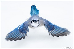 Blue Jay Taking Off (Daniel Cadieux) Tags: jay bluejay fly flight flying winter cold snow white blue wings ottawa downthebarrel facetoface