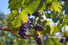 DSC00877-4800 (westonde) Tags: winery vineyard rokkor minolta grapes oregon forestgrove