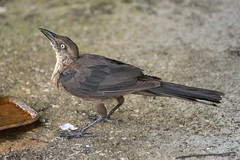 Great-tailed Grackle juvenile getting a drink (holdit.) Tags: tx texas visitorcenter swamp nature natural