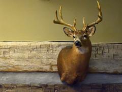 Whitetail Deer Shoulder Mounts (Yasser H. Alwan) Tags: nikon d7100 nikkor 1855mm vr ii whitetail deer taxidermy lake hope lodge mcarthur ohio