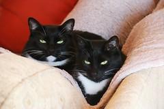 IMG_1111 (SweetMeow) Tags: cats tuxedocats home longisland watermill felix misty