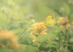 Butterfly Days - Sunny Delight (Charles Opper) Tags: butterflydays canon canon70200mm canon7d georgia lantana midway summer baby butterfly cloudlesssulphur color flower garden insect light nature phoebissennae sulphur sunny warm yellow