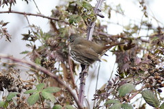 Fox Sparrow (glenbodie) Tags: glen bodie glenbodie dncb boundarybay 201349 fox sparrow