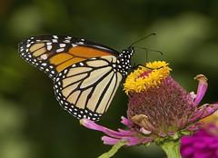 Monarch (Danaus plexippus) (AllHarts) Tags: monarchdanausplexippus universityofmemphis memphistn naturesspirit thesunshinegroup challengeclubchampions butterflygallery